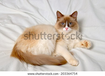 Siberian cat breeds Nevskaya-Masqueradnaja on a light background.