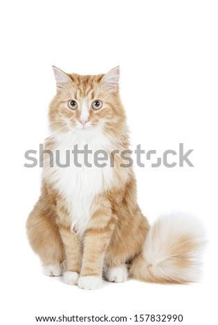 Siberian cat (Bukhara cat) on a white background in studio - stock photo