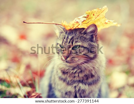 Siberian cat cat with a leaf on his head sitting in the autumn forest - stock photo