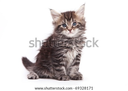 Siberian cat isolated on white