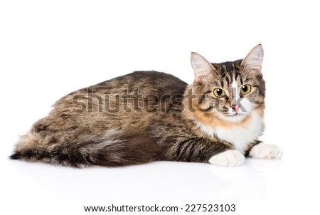 Siberian cat lying in profile. isolated on white background