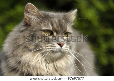 Siberian cat on green background