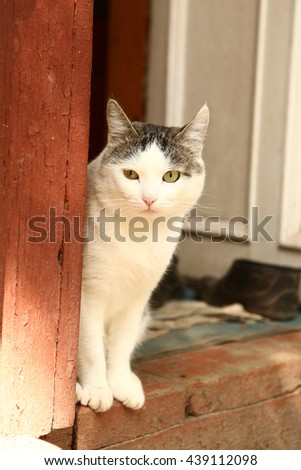 siberian cat on the cottage house porch close-up photo - stock photo