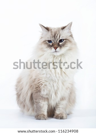 Siberian cat on white background - stock photo