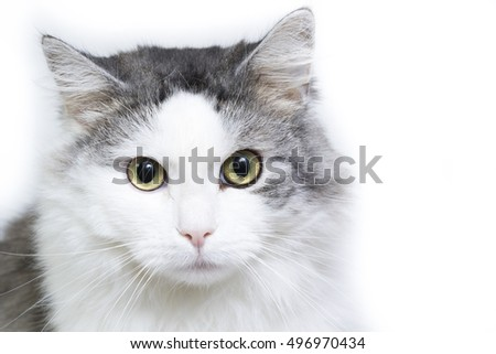 Siberian cat, portrait on a white background, selective focus with shallow depth of field.