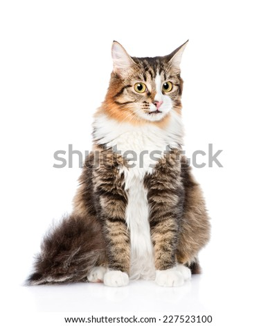Siberian cat sitting in front. isolated on white background
