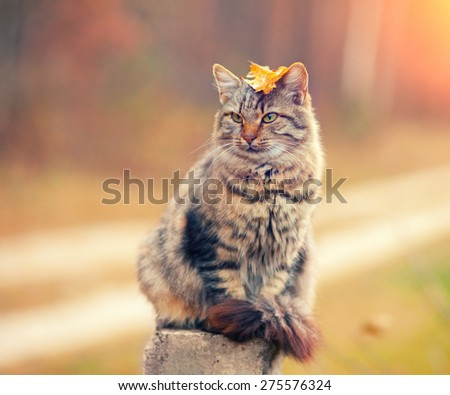 Siberian cat sitting in the autumn forest at sunset - stock photo