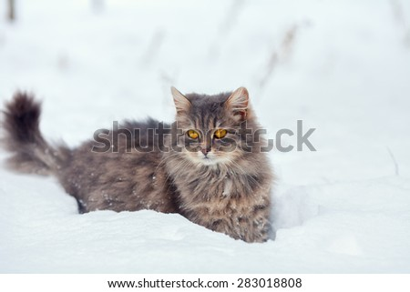 Siberian cat walking in snow