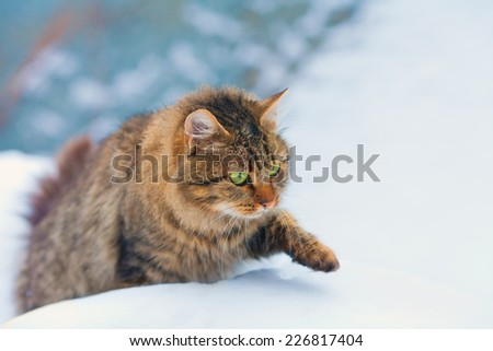 Siberian cat walking in the snow - stock photo