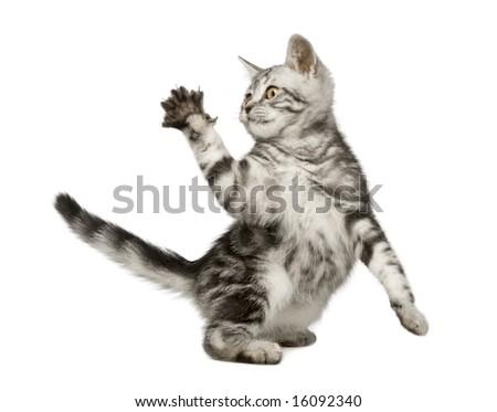 Siberian cat (12 weeks) in front of a white background - stock photo
