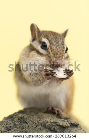 Siberian Chipmunk eating a pumpkin seed. - stock photo