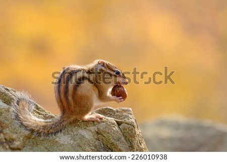 Siberian Chipmunk eating an acorn in Autumn forest. - stock photo