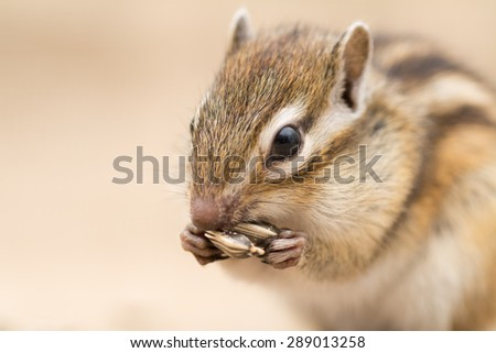 Siberian chipmunk eating sunflower seed. - stock photo