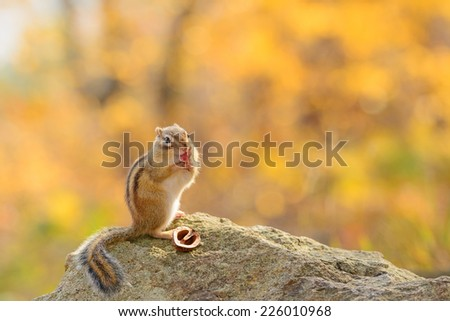 Siberian Chipmunk grooming in Autumn forest. - stock photo