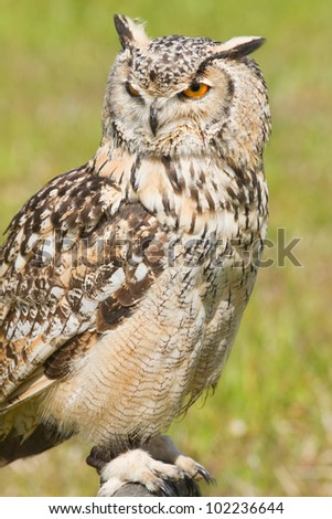 Siberian Eagle Owl or Bubo bubo sibericus - Eagle owl with lighter colored feathers in captivity