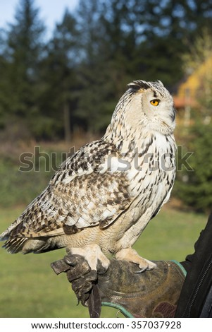 Siberian Eagle-owl standing on falconer's hand