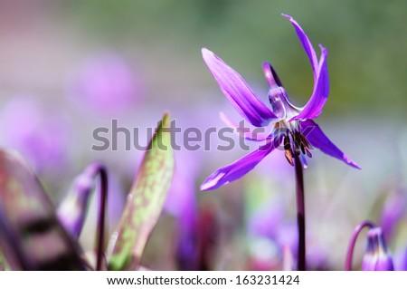 Siberian fawn lily (erythronium sibiricum) - 2. Beautiful perennial spring wildflower.                   - stock photo