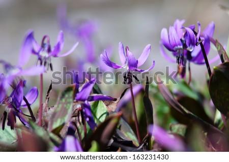 Siberian fawn lily (erythronium sibiricum) - 4. Beautiful perennial spring wildflower.                  - stock photo