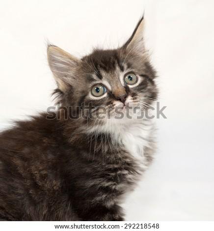 Siberian fluffy tabby kitten sitting  on gray background - stock photo