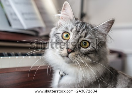 Siberian Forest Cat at the Piano - stock photo
