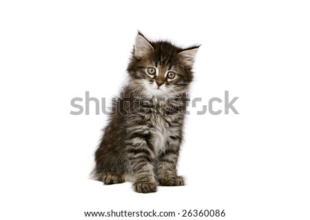 Siberian Forest cat kitten - stock photo
