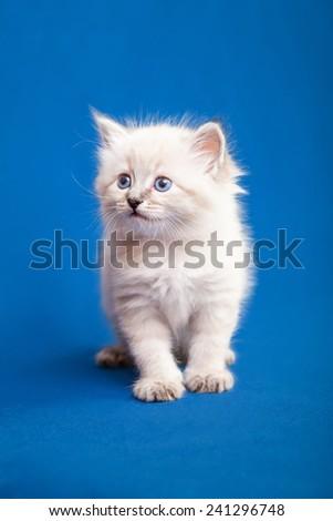 Siberian forest kitten on blue background - stock photo