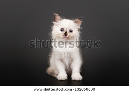 Siberian forest kitten on dark background