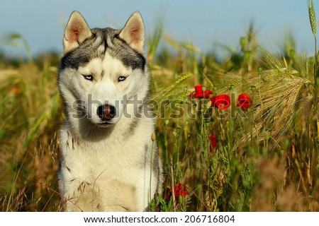 Siberian Husky. - stock photo