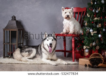 Siberian Husky and West Highland White Terrier on Christmas background