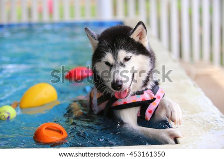Siberian husky black and white colors wear life jacket swim in swimming pool with colorful ball toys, dog swimming, happy dog, dog activity, dog wet - stock photo