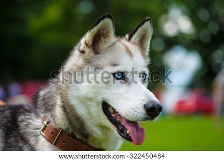 Siberian Husky dog - stock photo