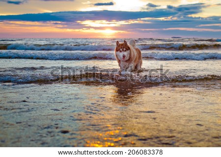 siberian husky dog at sunset - stock photo