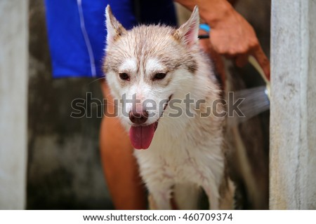 Siberian husky dog bathing, dog cleaning, dog wet portrait, happy dog - stock photo