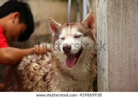 Siberian husky dog bathing, dog cleaning, happy dog, dog wet, dog portrait - stock photo