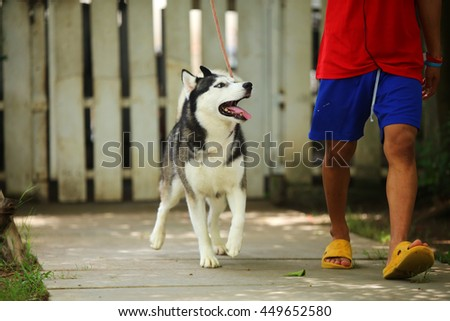 Siberian husky dog black and white colors with blue eyes on leash with owner, dog activity, dog in the park, happy dog