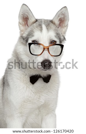 Siberian Husky dog in bow tie and glasses on a white background - stock photo
