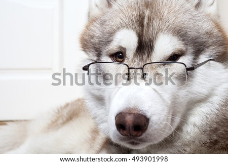 Siberian Husky Dog in glasses looks you in the eye.