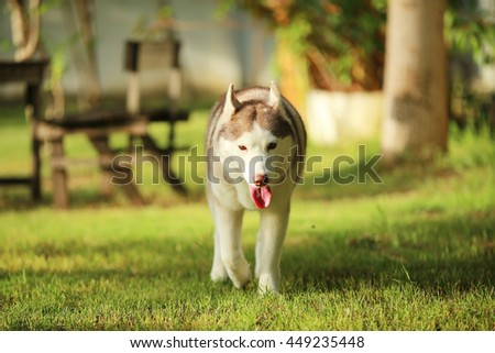 Siberian husky dog light red and white colors in grass field sunset, dog activity, happy dog, dog in the park - stock photo