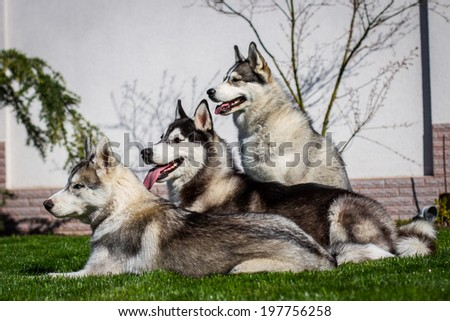 Siberian husky dog outdoors - stock photo