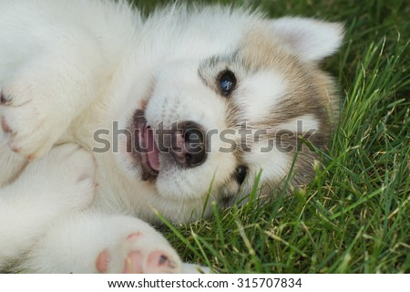 Siberian husky dog outdoors. Portrait of a little husky dog puppy. Close-up. - stock photo
