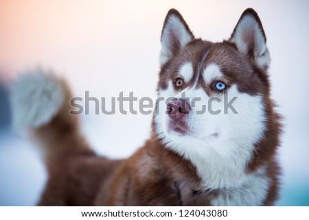 Siberian husky dog portrait - stock photo