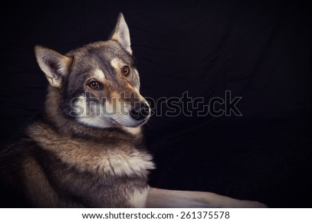 Siberian Husky dog Portrait looking at camera with an interesting expression isolated on yellow background. - stock photo