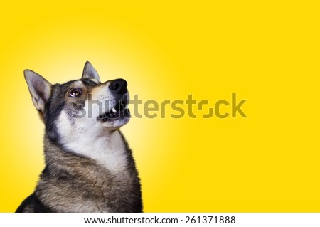 Siberian Husky dog Portrait looking up with a open mouth,Surprised  isolated on yellow background. - stock photo