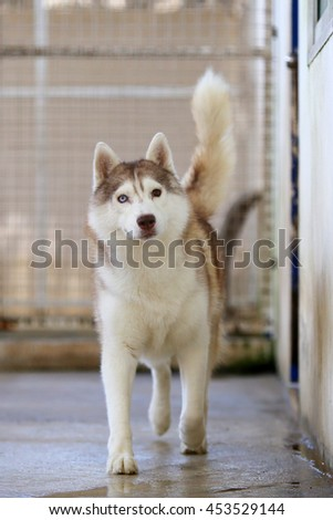 Siberian husky dog right red and white colors with multiple colors eyes walking, happy dog, fluffy dog, dog walking, medium breed dog - stock photo