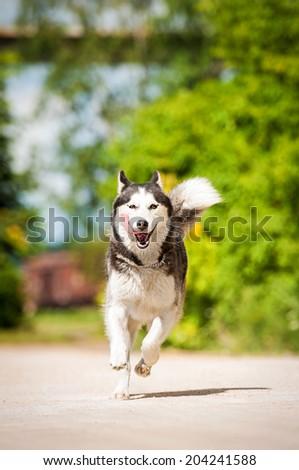 Siberian husky dog running in summer - stock photo