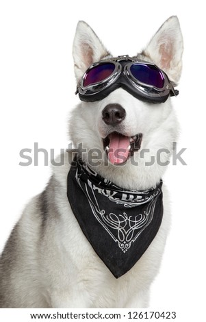Siberian Husky dog shawl and motorcycle glasses on a white background