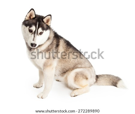 Siberian Husky Dog sitting while looking down. Dog is sitting with side to camera.