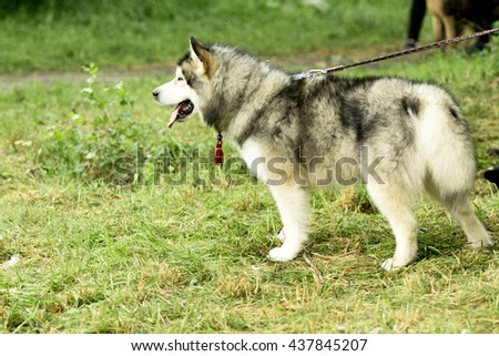 siberian husky dog, summer
