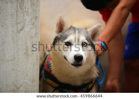 Siberian husky dog wear life jacket prepare for swimming, dog activity, dog portrait, happy dog, dog bathing