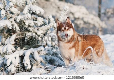 siberian husky dog winter portrait - stock photo